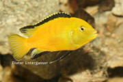 Labidochromis species jellow DUG_(1)